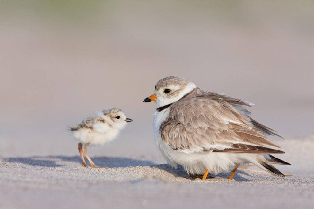 RIMS Piping Plover Protection